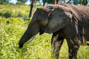 Wild elephant in the Kruger National Park on safari, South-Africa, Mpumalanga