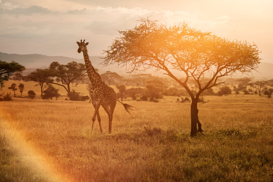 Giraffe at sunset near a tree in Serengeti National Park in Tanzania during safari with colourful background