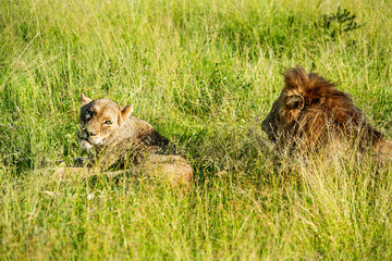 Wild lion and lioness lying down in the grass