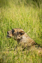 Wild lioness lying down in the grass