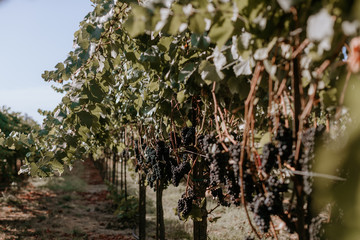 Fototapete - Red grapes on the vine in wine country vineyard