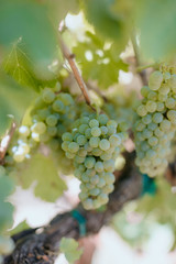 Fototapete - Close up of white wine grape clusters on the vine