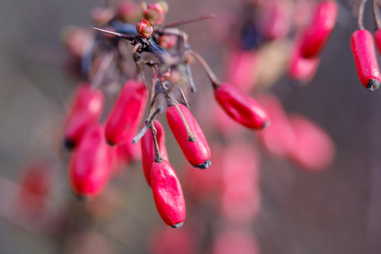 Closeup of Barberry red berries on the branch on a bush. Fresh ripe Berberis vulgaris berries on blurred background.