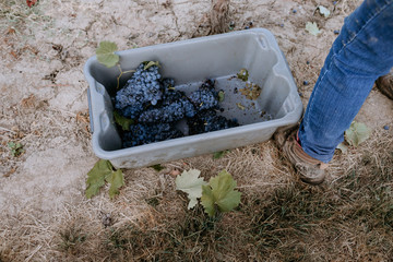 Fototapete -  A vineyard worker stands while filling a grape bin during harvest.