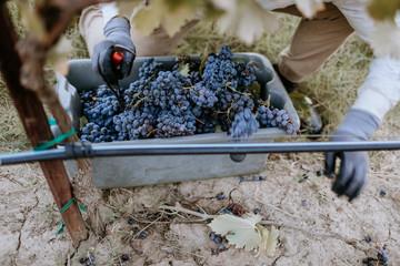 Fototapete - Female vineyard workers gloved hands working grapes in a bin.