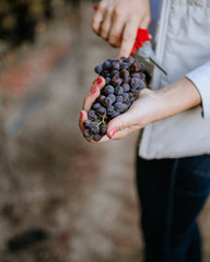 Fototapete - Female hands hold clusters of red grapes in the vineyard.