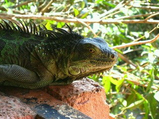 Close-up Of Iguana On Retaining Wall Against Plants Wall mural