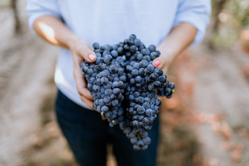 Fototapete - Female winemaker holds grape clusters in vineyard.