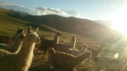 Llamas On Field At Andes Against Sky