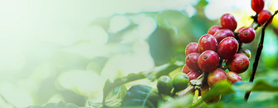 Banner of coffee berry in the plant