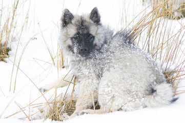 Printed roller blinds Dog Portrait Of Keeshond Snowcapped Field