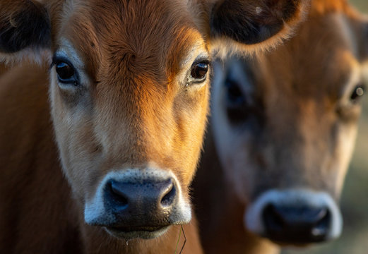 portrait of a cow with blurred cow in background - colour