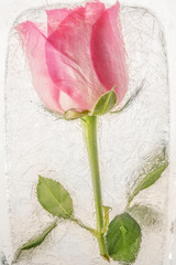 Pink rose flower frozen in ice
