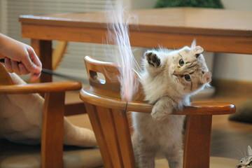 Fototapeta Kitten Playing Feather Wand At Home