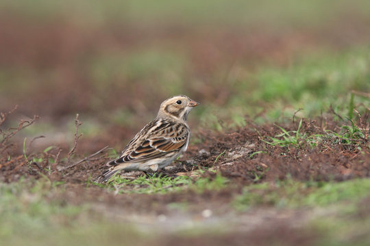 Close-up Of Lapland Longspur Perching On Field