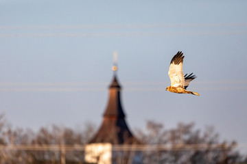 Marsh Harrier, Circus aeruginosus, Birds of prey landing on the blue sky. In background village church. Czech Republic, Europe Wildlife Wall mural