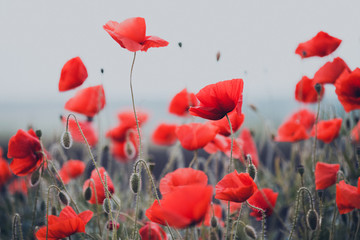 Wall Mural - the poppies field