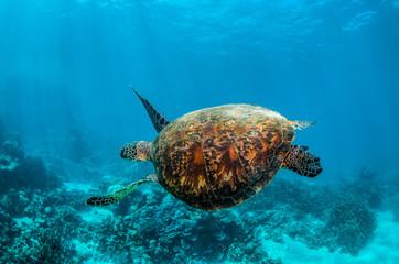 Fotorolgordijn Schildpad Green turtle swimming in the wild among colorful hard corals