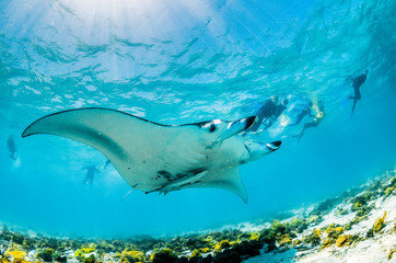 Manta ray swimming in the wild in shallow blue water, with snorkelers swimming and observing from the surface Wall mural