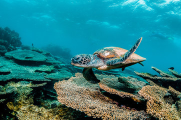 Green sea turtle swimming among colorful coral reef in beautiful clear water
