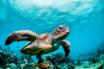Photo sur Toile Recifs coralliens Green sea turtle swimming among colorful coral reef in beautiful clear water