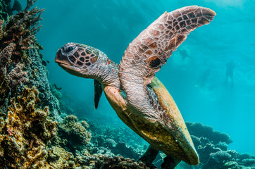 Garden Poster Coral reefs Green turtle swimming among colorful coral reef formations in the wild