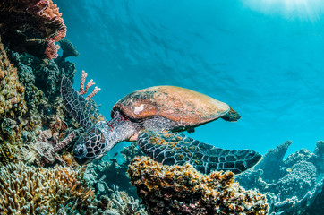 Green turtle swimming among colorful coral reef formations in the wild Wall mural