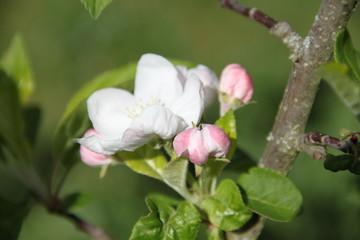 Fototapeta White fresh apple tree bud fertile blossom