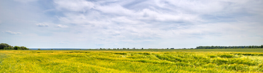Wall Mural - Scenic view of Wheat Field and bright blue sky with cumulus and cirrus. Rural summer Landscape. Beauty nature, Agriculture and seasonal Harvest time. Cultivation cereals. Agribusiness. Panoramic view