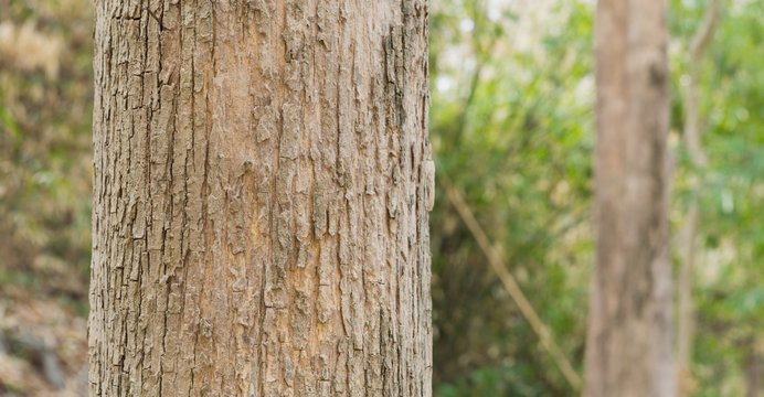 Teak Trees in Thailand precious hardwoods one of the last major areas of tropical forest in Asia