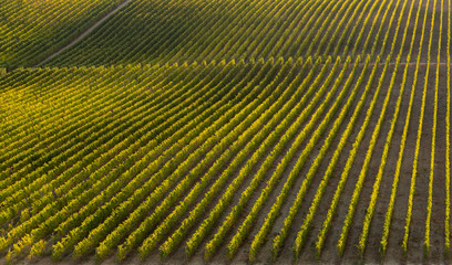 Wall Murals Vineyard Alto Douro beautiful vineyard lines during harvest season (vindima) at sunset light - UNESCO World Heritage