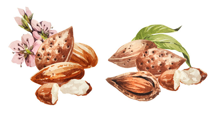 Almond. Hand drawing-watercolor set. It can be used for postcards, stickers, encyclopedias, menus, ingredients of dishes. Style design for the label, cover, prints for some surfaces.
