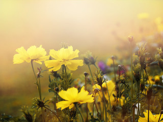 Wall Mural - small yellow flower blooming in the morning