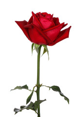 Foto op Textielframe Roses single red rose, isolated on white background
