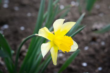 Photo on textile frame Narcissus Yellow flower growing on a flowerbed. Narcis.