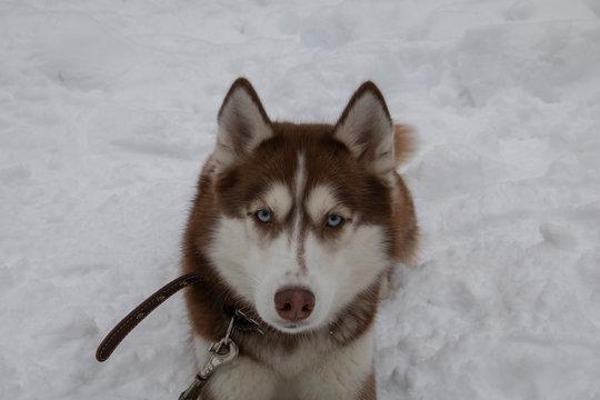 Brown Siberian Husky lies in the snow in winter.