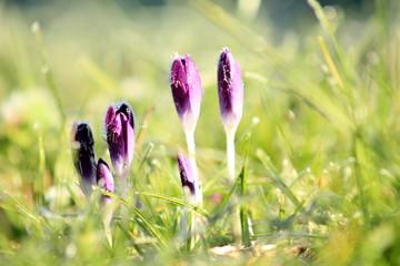 Frost Crocuses Blooming On Field