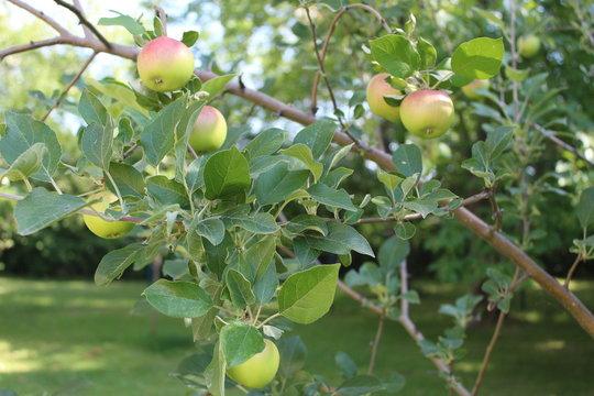 State Fair Apple Tree Minnesota