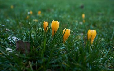 Yellow Crocuses Blooming On Field