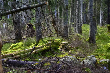 Fototapeta Bialowieski Park Narodowy, Puszcza Bialowieska, Park wpisany na liste Swiatowego Dziedzictwa UNESCO, swiatowy rezerwat biosfery, rezerwat w Polsce, najstarszy park narodowy  obraz