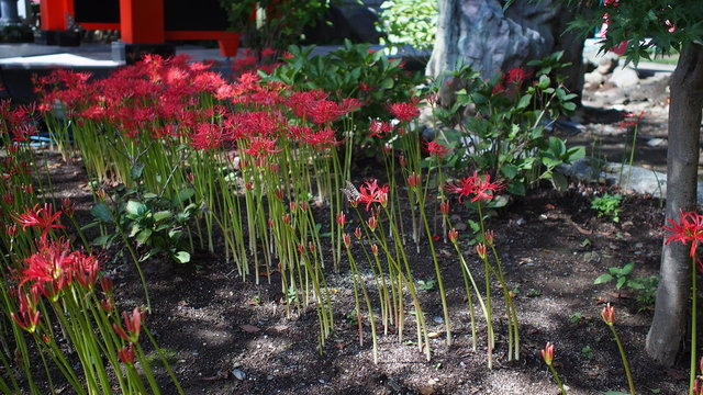 High Angle View Of Red Spider Lilies On Field