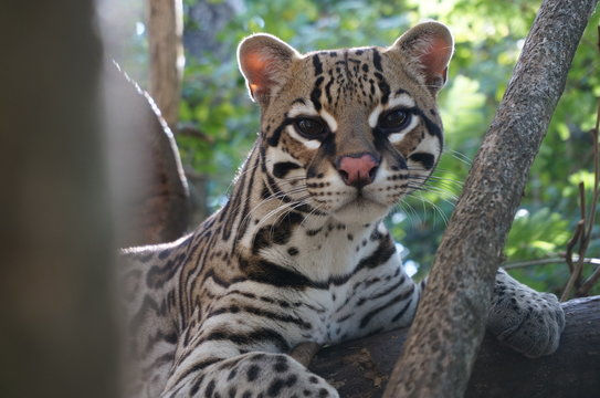 Close-up Portrait Of Margay Resting On Tree At Forest