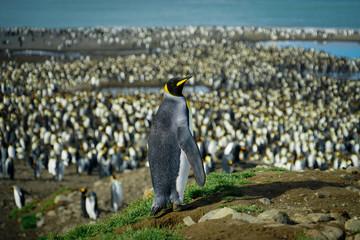 Penguin Leads Colony