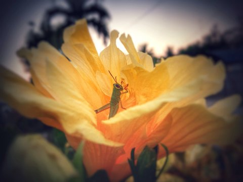 Close-up Of Grasshopper On Yellow Hibiscus