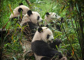 Photo sur Aluminium Panda Giant panda bears eating bamboo