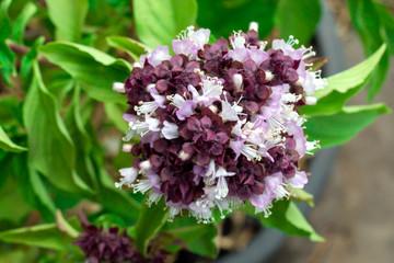 Closeup green fresh basil leaves (Ocimum basilicum), Herbal medicine plant concept, Basil flowers vegetable