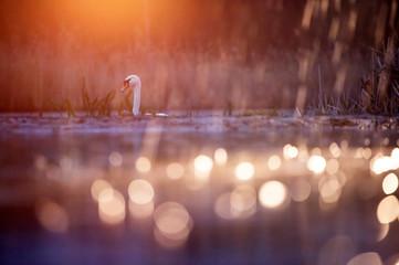 Swan - wildlife in its natural habitat