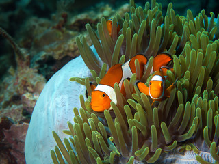 Three clownfish watch the underwater photographer from their blue-green anemone. Photo was taken in Raja Ampat, Indonesia.