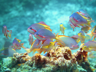 Colourful group of Anthias fishes in the sun on top of the roof of a coral reef at Moaboal, Philippines