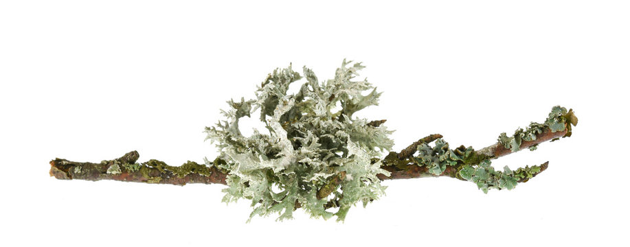 Lichen on wood isolated on white